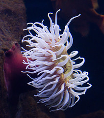 An anemone in the aquarium at the Leipzig Zoo.