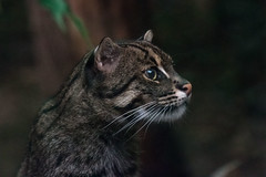 A fishing cat at the Melbourne Zoo, Australia