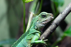 A stunning green lizard at the Melbourne Zoo, Australia