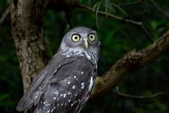A barking owl at Healesville Sanctuary in Victoria, Australia